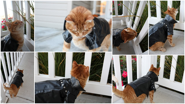 An orange cat wearing a little leather coat with studs.