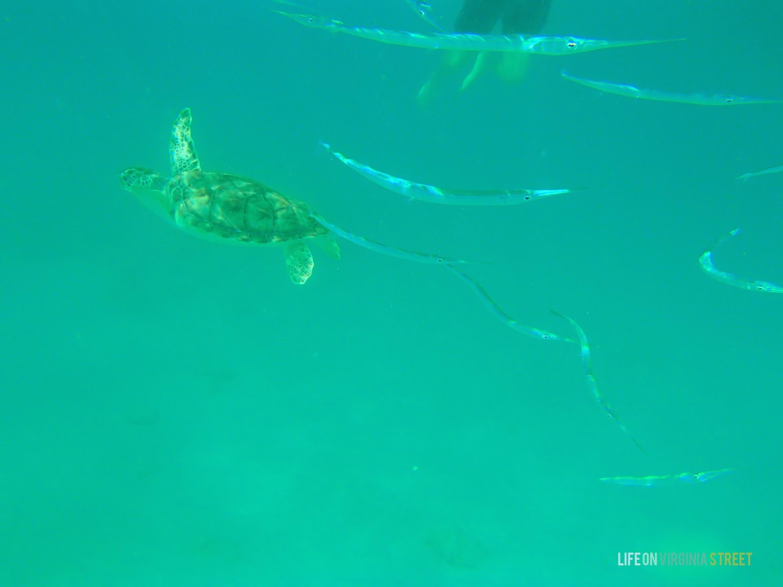 A turtle swimming in the ocean beside long fish.