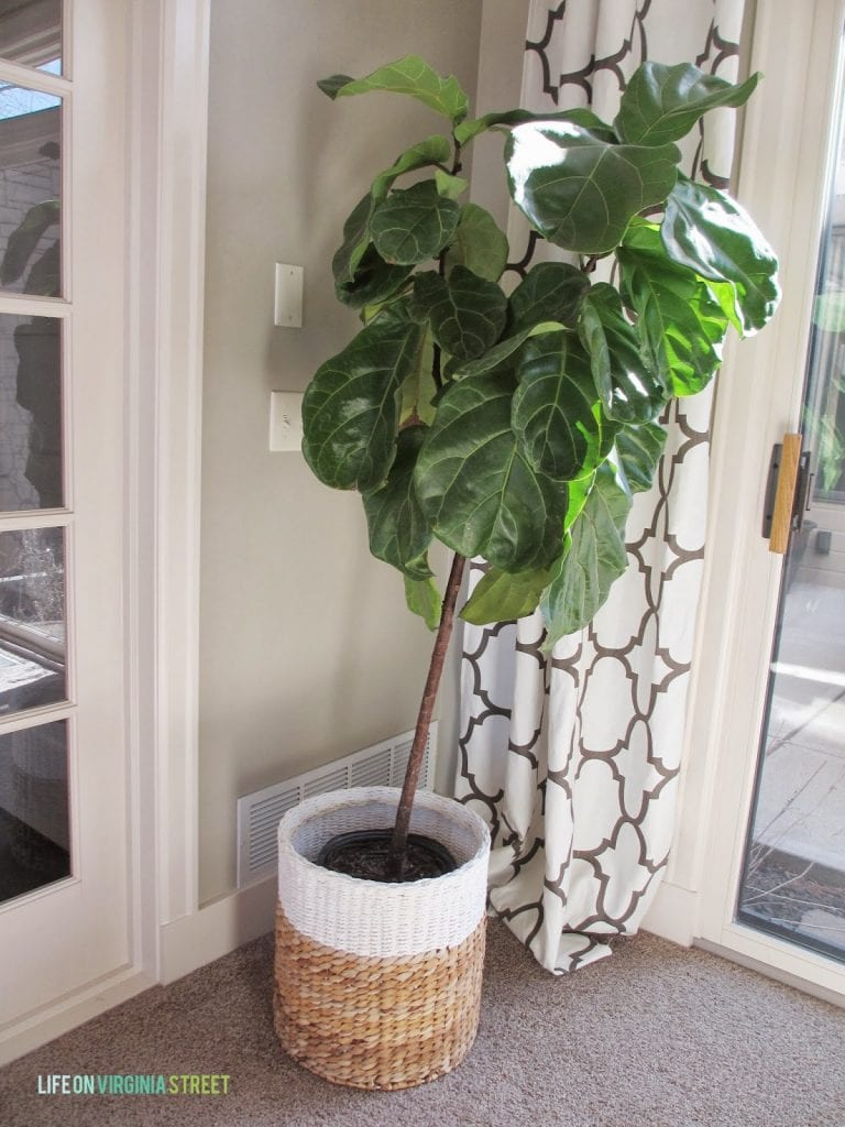 Fiddle leaf fig tree care and tips. Also, how to handle in a household with cats!