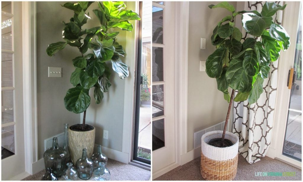 The fiddle leaf fig- before some TLC and after