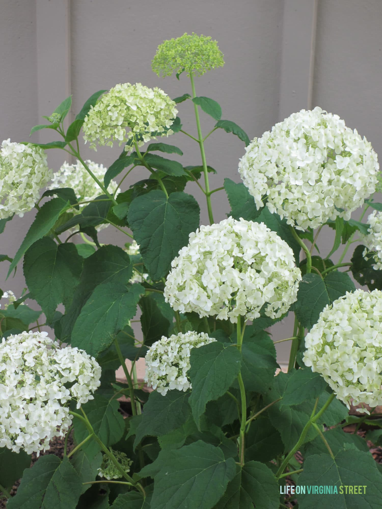 Planting Hydrangeas Amp Other Landscaping Ideas Life On