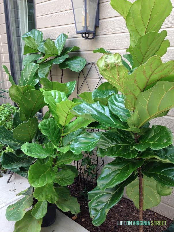 Welcome to the {Fiddle Leaf Fig} Jungle