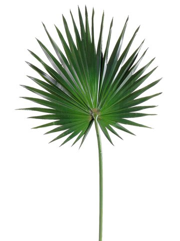 Silk Fan Palm.
