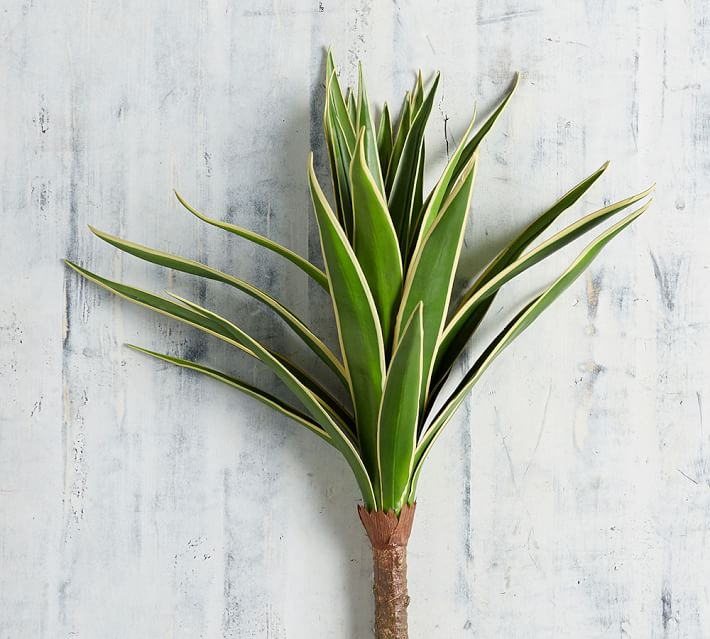 Agave palm featured.