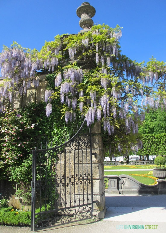 Stunning lilacs hanging from a gate at the Salzburg gardens.
