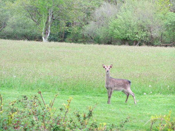 Ireland - Deer - Life On Virginia Street