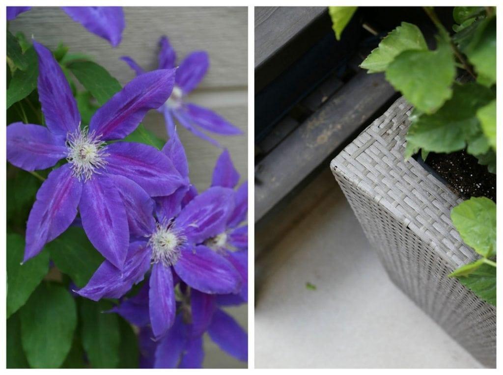 Purple morning glories in bloom.