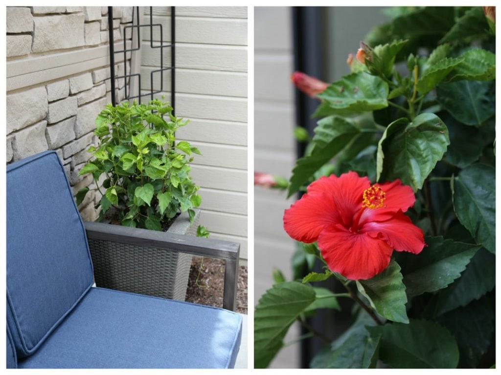 A blue outdoor couch and a red hibiscus flower on the bush.