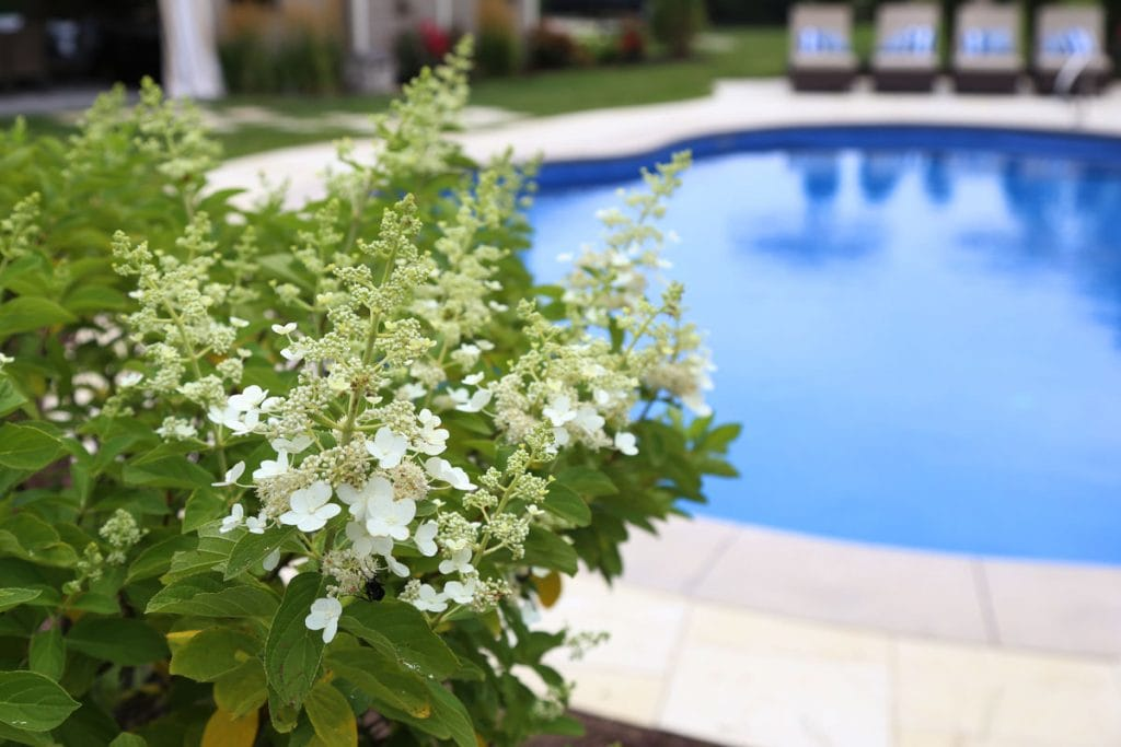White hydrangea Tree beside the pool.