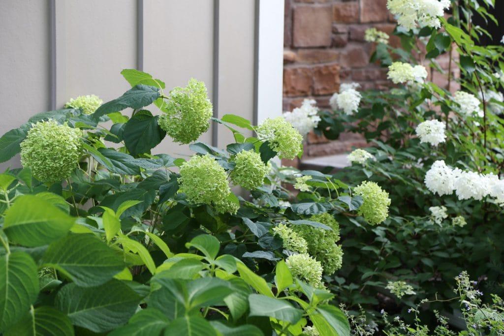 Hydrangea bushes outside the house.