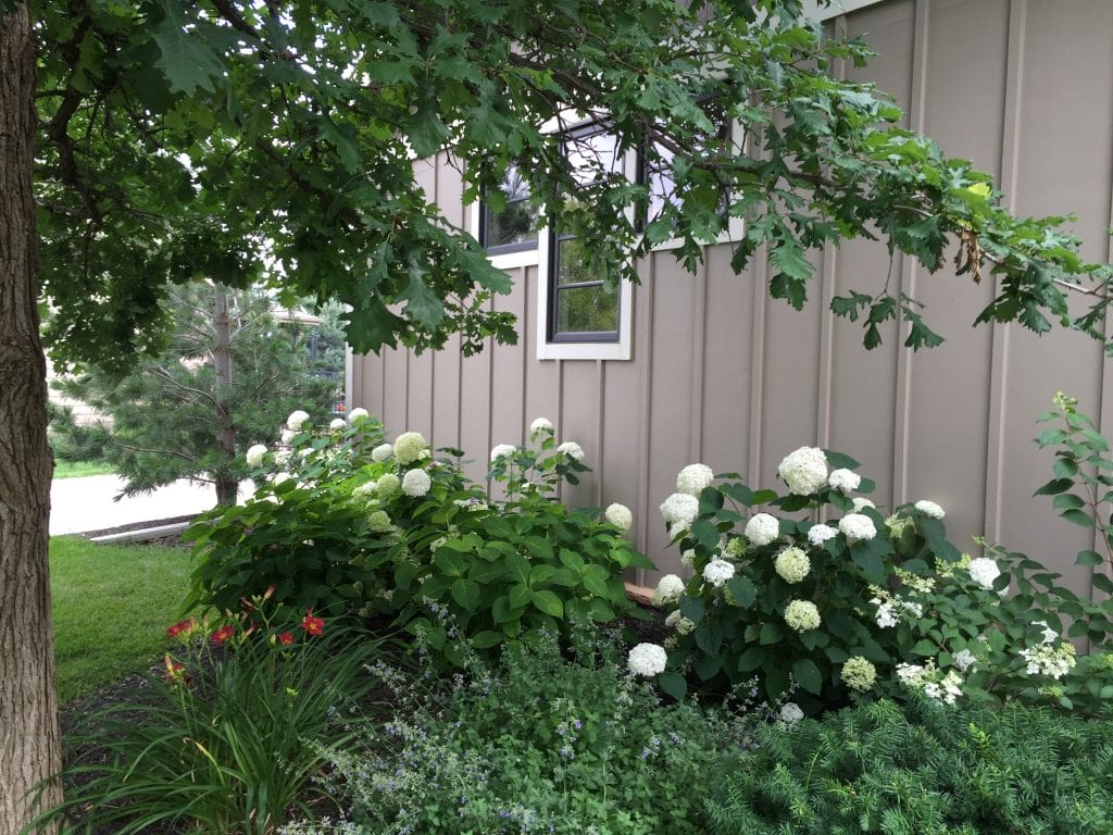 White hydrangea bushes beside the house.