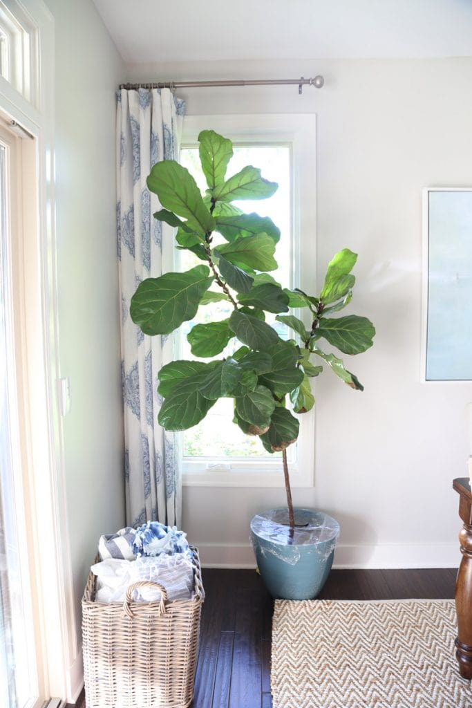 dining-room-fiddle-leaf-fig-via-life-on-virginia-street
