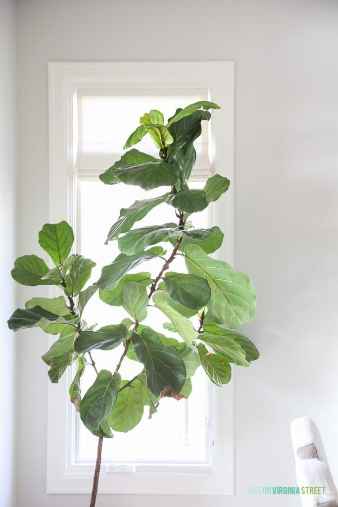 Fiddle Leaf Fig in a Dining Room - Walls are Behr Silver Drop and trim is Behr Swiss Coffee.