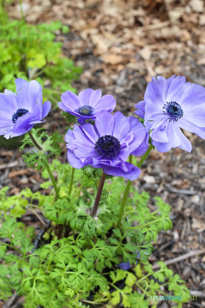 Gorgeous purple anemones and information on the necessity of building seasonal layers in your landscaping to create a colorful outdoor space year round!