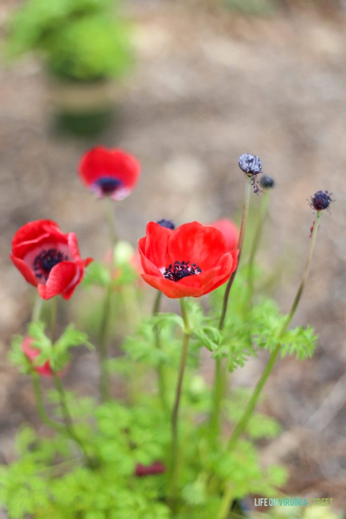 Gorgeous red anemones and information on the necessity of building seasonal layers in your landscaping to create a colorful outdoor space year round!