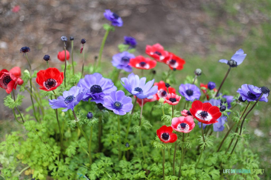 Gorgeous red and purple anemones and information on the necessity of building seasonal layers in your landscaping to create a colorful outdoor space year round!