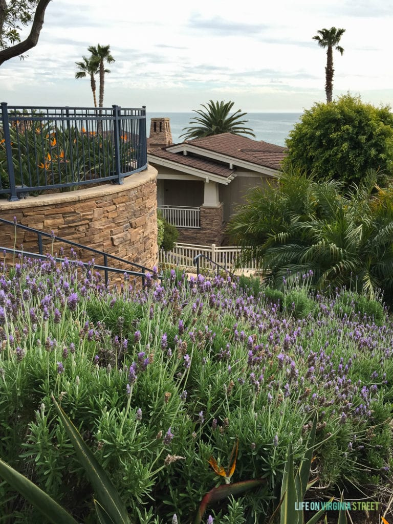Amazing lavender plants are all over the grounds at the Montage Hotel. It smells wonderful! You can also see the ocean here and some orange lillys.