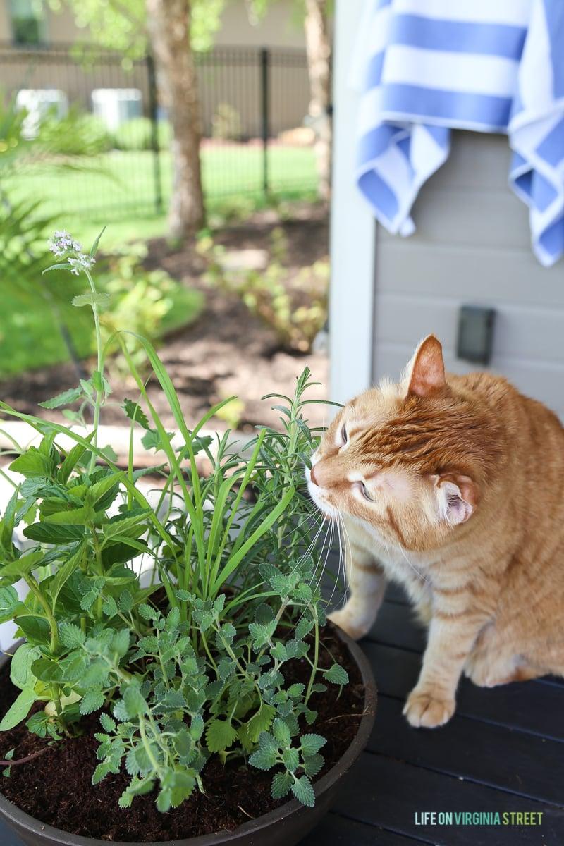 DIY Cat Herb Garden - Life On Virginia Street