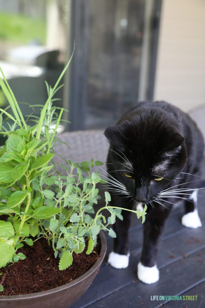 A black cat with white paws sniffing the herbs.