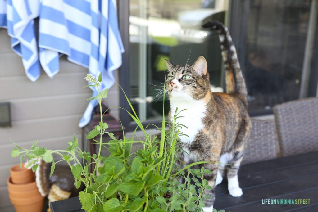 A multicolored cat by the herb plants.