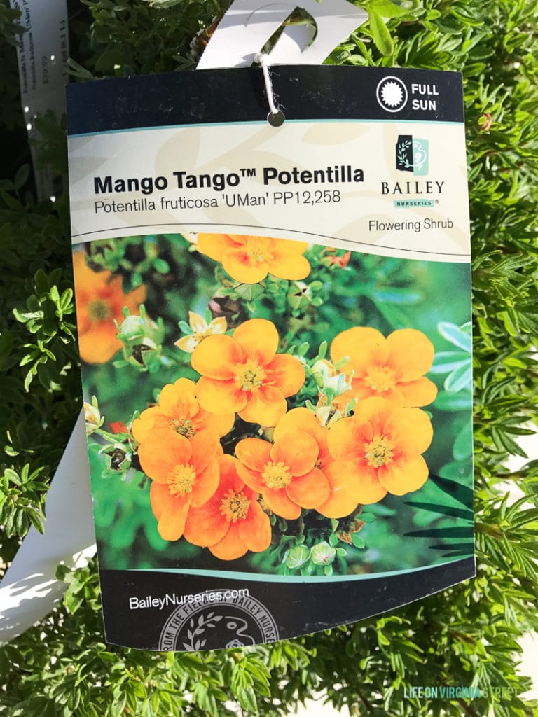 A tag for the Mango Tango Potentilla.