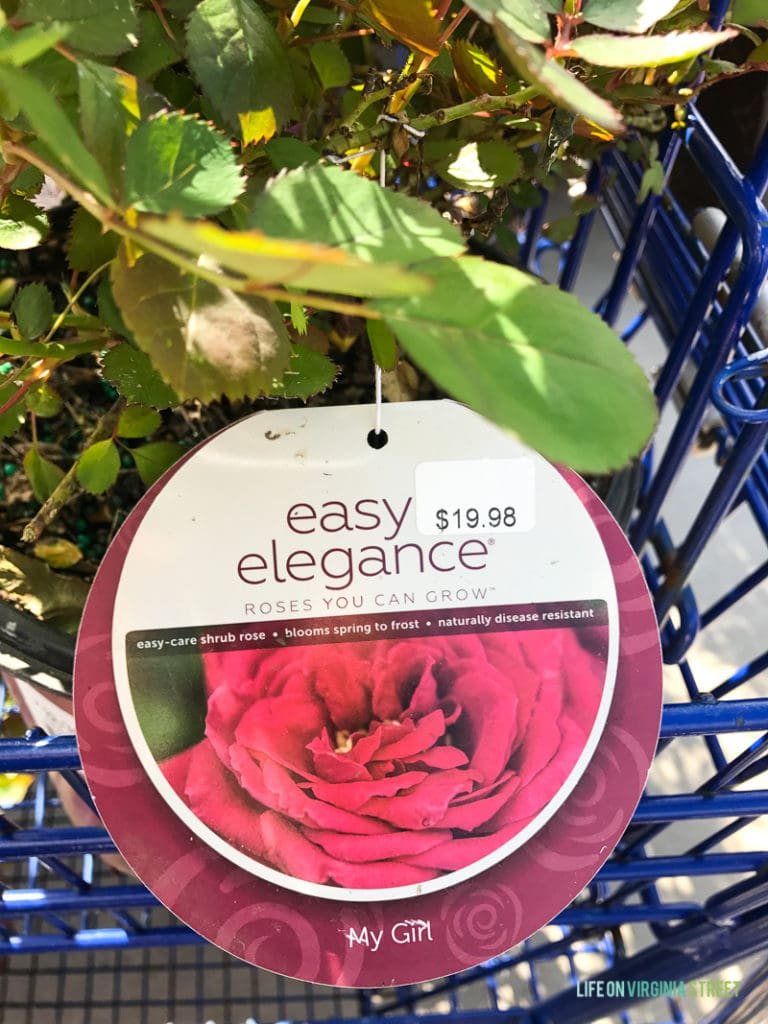 Easy Elegance roses with the tag still on the plant.