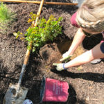 Adding Color to Our Backyard & Tips for Planting Roses