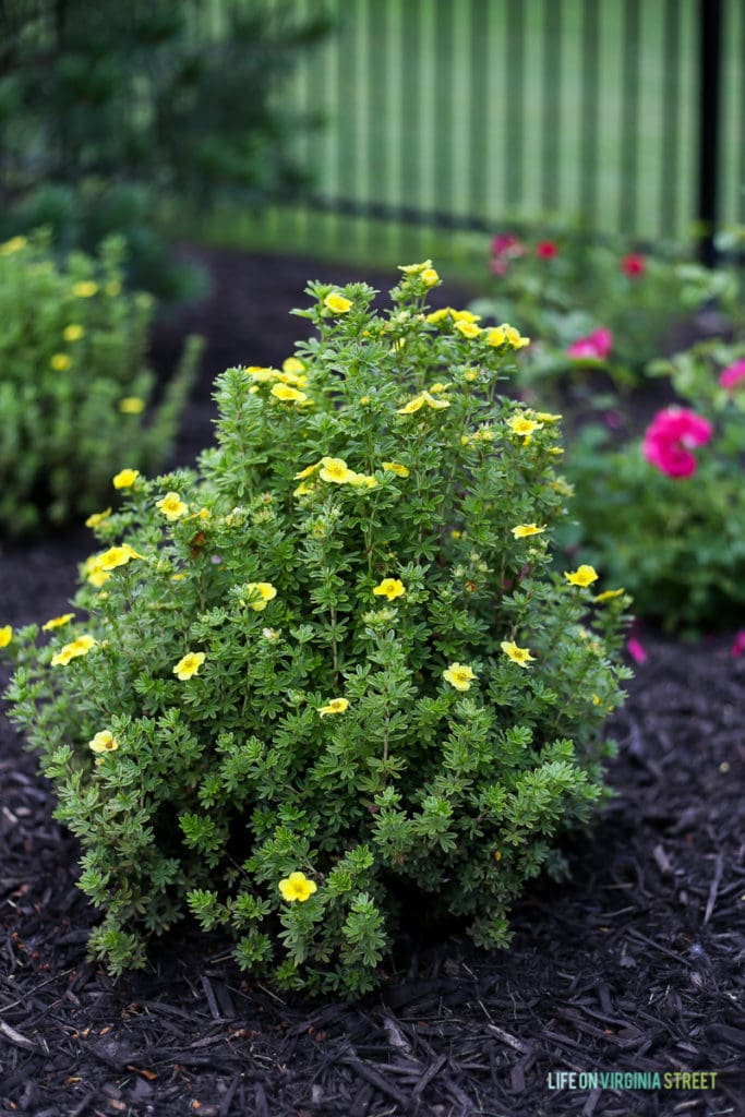 A bright yellow bush with light green leaves.