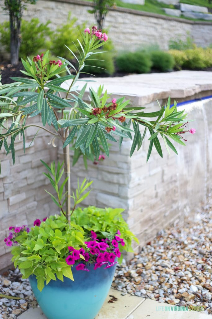 Planter by pool and waterfall with oleander tree, hot pink petunias, and lime green potato vines.