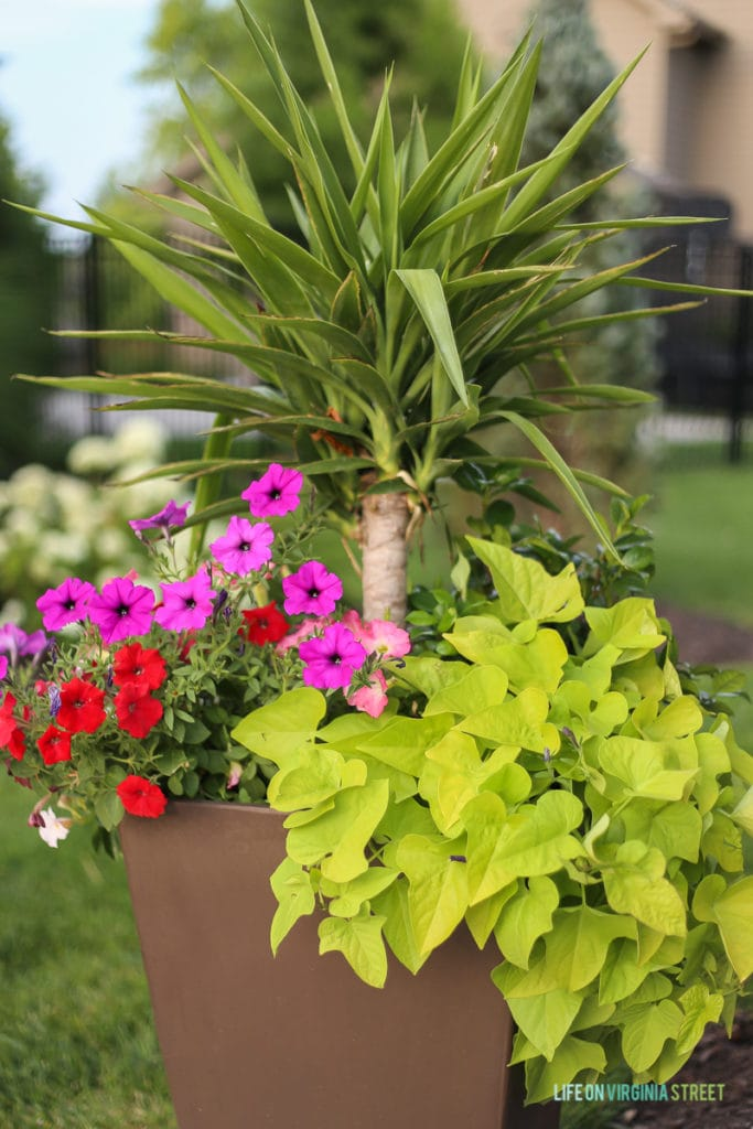 Gorgeous planter filled with yucca, petunias, potato vines, and jasmine. A great way to add color in the summer!