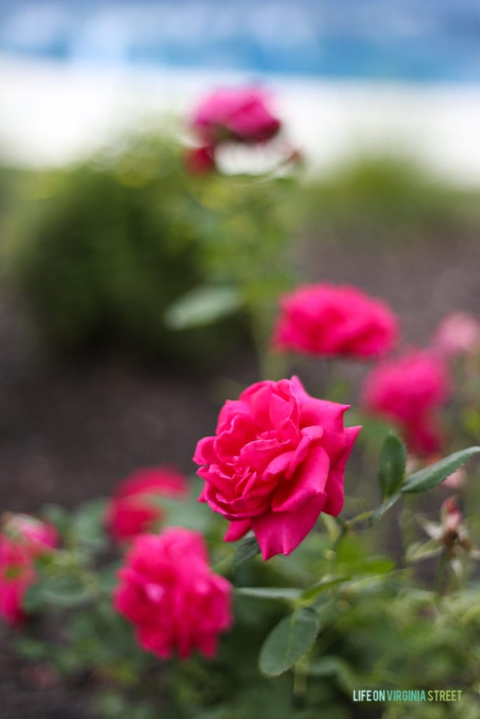 Up close picture of the deep pink color of the roses.