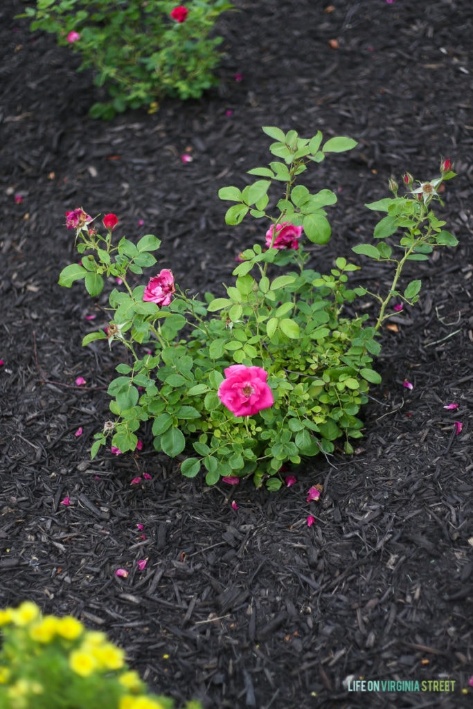 The rose shrub in the garden with dark mulch offsetting the green leaves.