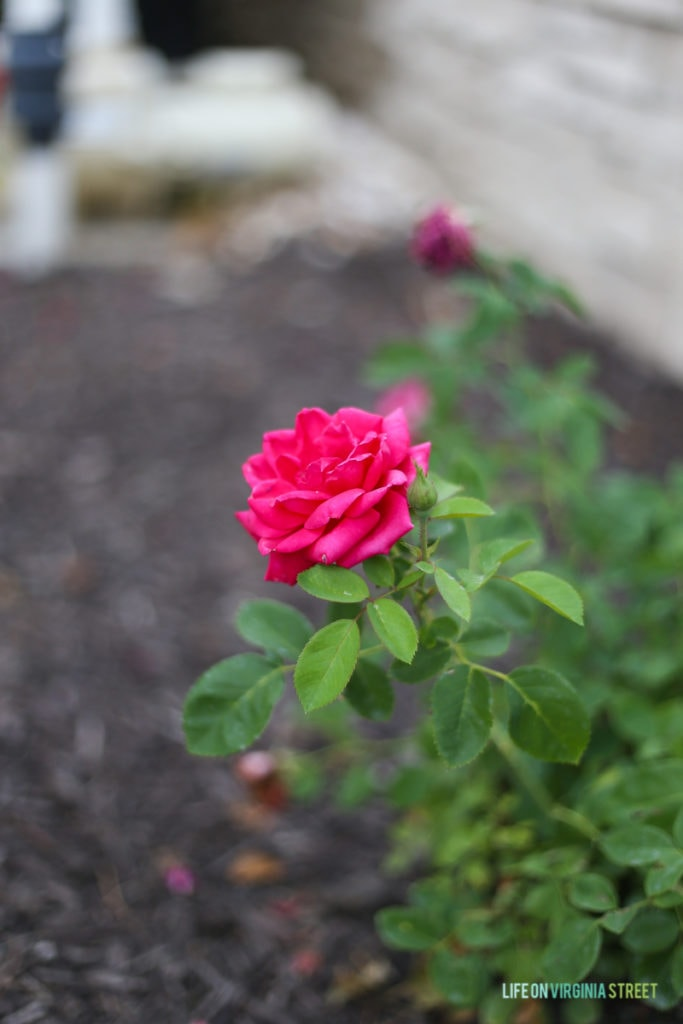 Focusing on the single bright pink rose bloom.
