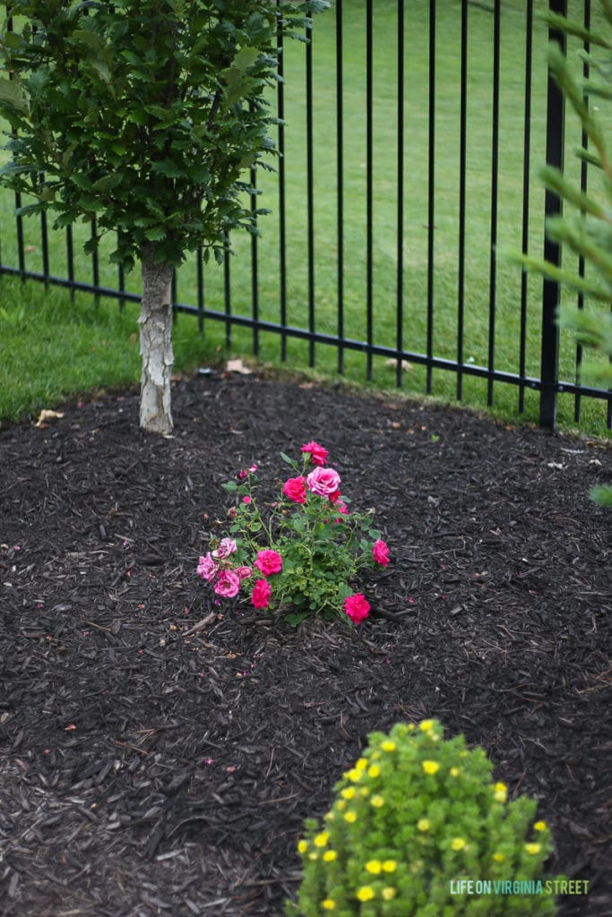 Beautiful Easy Elegance Roses are a great way to add color to a monotone landscape. They are low-maintenance and bloom all summer long! #EasyElegance #ad #RosesYouCanGrow