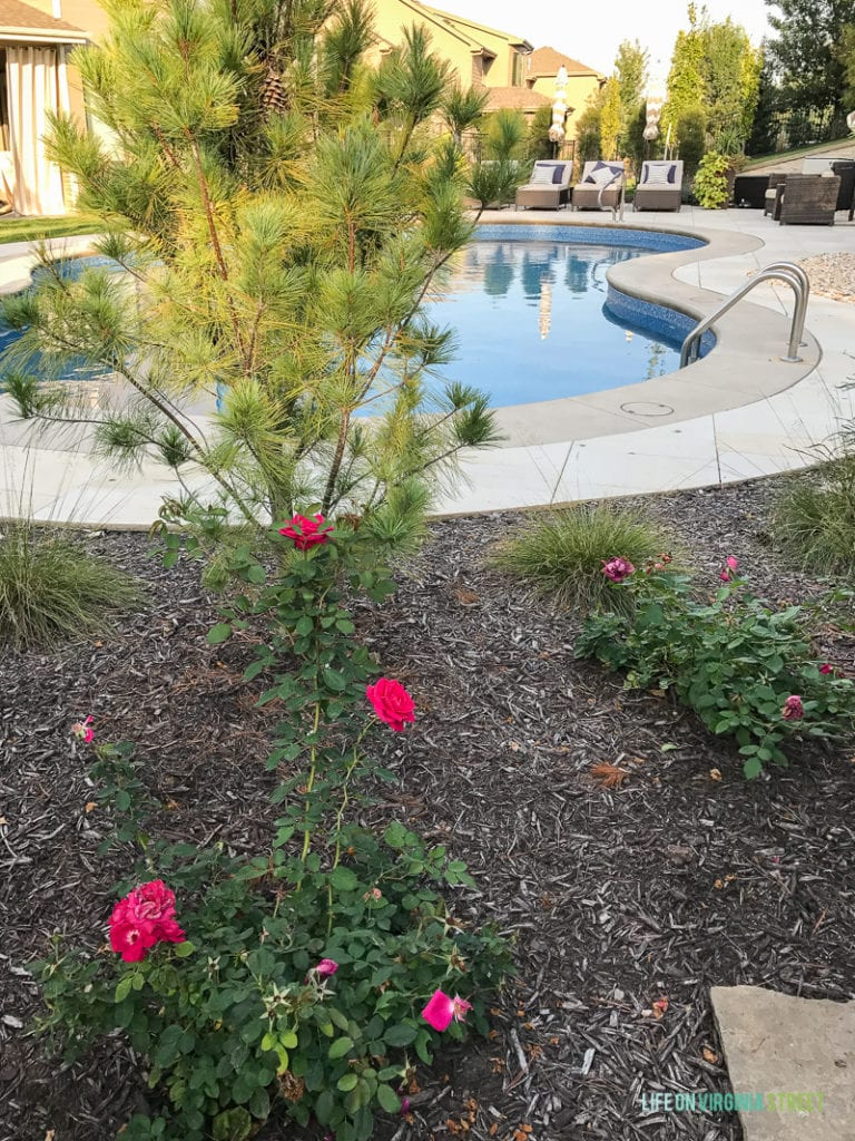 Pink rose bushes beside unground pool.