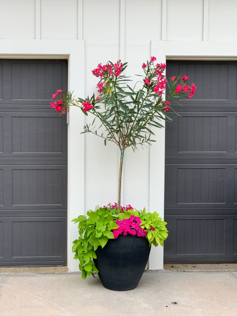 A large black planter filled with a bright pink oleander topairy, sweet potato vines, and bright pink petunias.