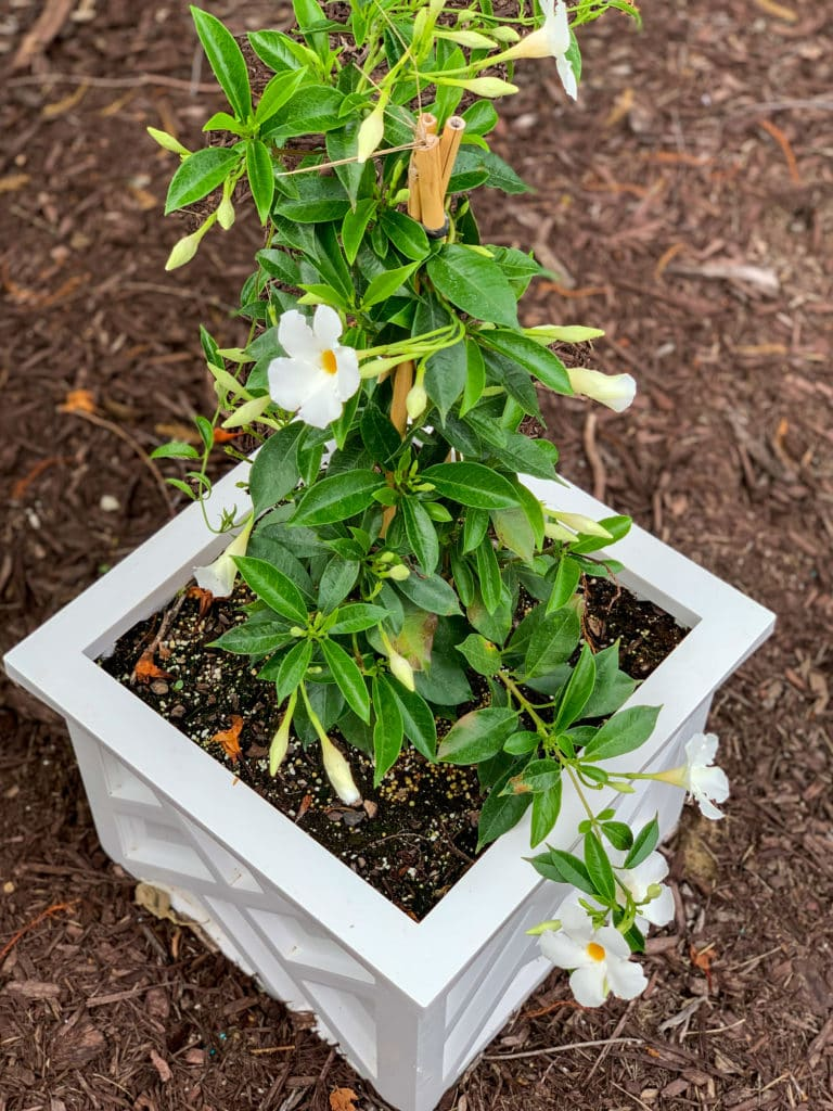 A resin chippendale planter filled with mandevilla vines for summer container gardening!